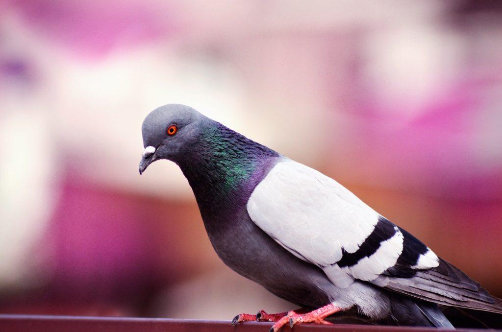 pigeon-blur-596792