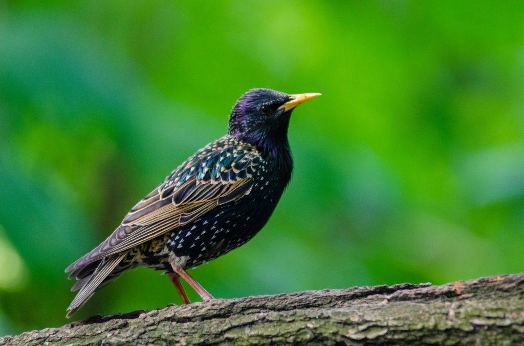 starlings-145919